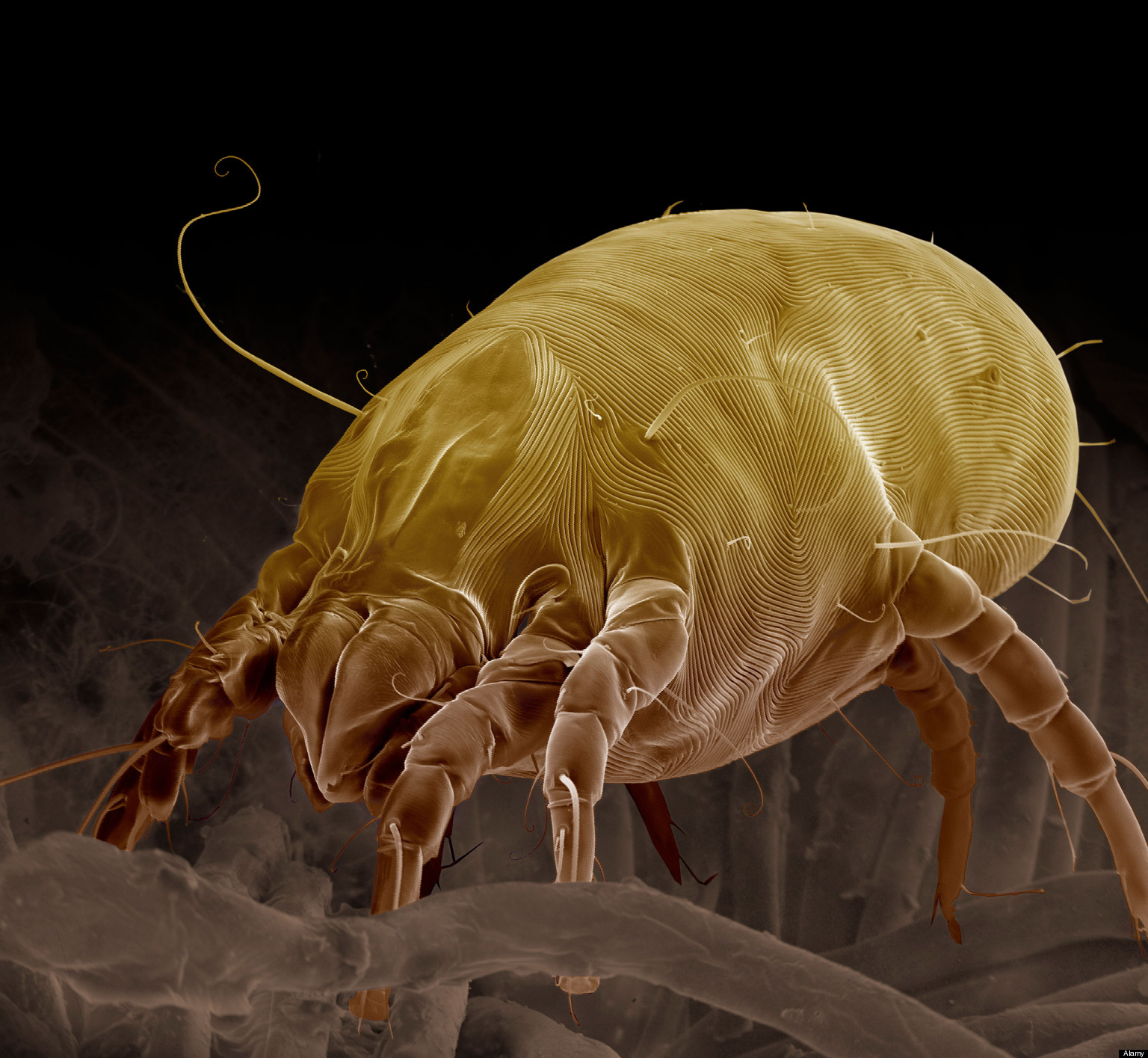Dust Mite Bed Bugs